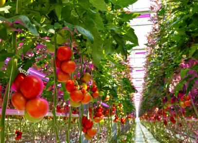 欧司朗植物技术保障全球新鲜食品供应